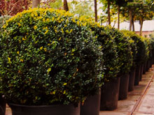 buxus-sempervirens-small4.jpg