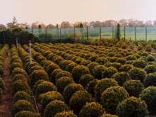 buxus-sempervirens-small3.jpg