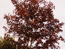 acer-platanoides-royal-red-small2.jpg